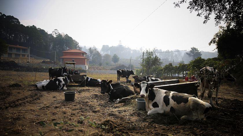 Centenas de animais morreram na noite de domingo. Não só gado, mas também milhares de aves, de acordo com os aviários da região