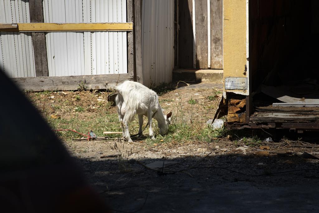 Muitos moradores recorrem à criação de animais.