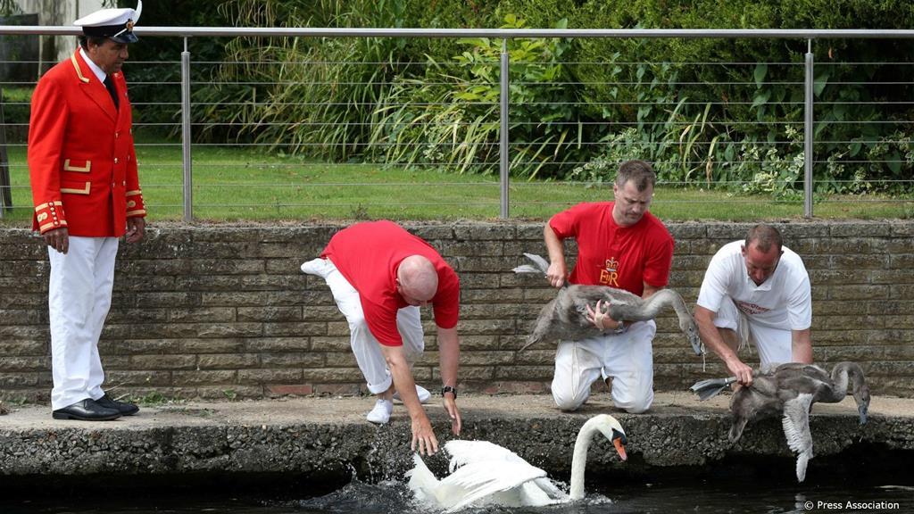 Contagem anual dos cisnes mudos em 2019. Foto: The Royal Family/Facebook